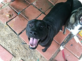 American Staffordshire Terrier Dog for adoption in Jacksonville, Texas - Carter