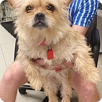 Cairn Terrier Mix Dog for adoption in Hillsboro, Illinois - Lady - ADOPTION PENDING!