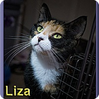 Domestic Shorthair Cat for adoption in Aldie, Virginia - Liza