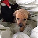 Adopt A Pet :: Donna's pup Daisy