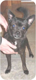boston terrier pomeranian mix maya adopted dog freedom township oh boston terrier 8319