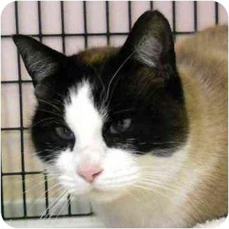 Snowshoe Cat for adoption in Denver, Colorado - Sweetie