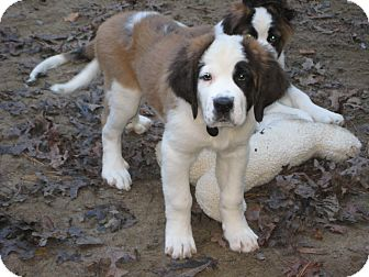 St. Bernard Puppy for adoption in Sudbury, Massachusetts - HIGGINS