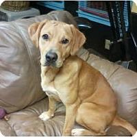Adopt A Pet :: Dillon - Seneca, SC