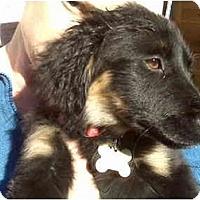 Adopt A Pet :: Chaos - Scottsdale, AZ