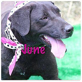 Labrador Retriever Mix Dog for adoption in Killian, Louisiana - June