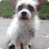 Adopt A Pet :: Lola - Las Vegas, NV
