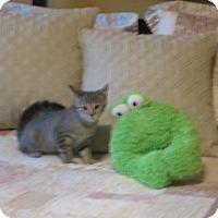 Adopt A Pet :: Cannellini - Bentonville, AR