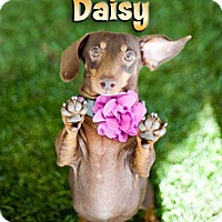 Adopt A Pet :: Daisy (bonded with Schatzi) - Los Angeles, CA