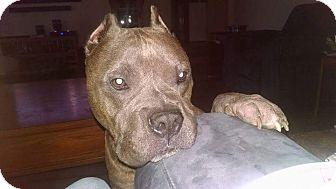Pit Bull Terrier Mix Dog for adoption in Salem, Oregon - Creature
