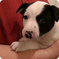 Adopt A Pet :: Harley Quinn - Ogden, UT