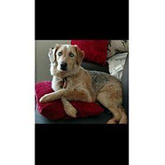 Australian Shepherd Dog for adoption in Nashville, Tennessee - Piper