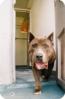 American Pit Bull Terrier/Mastiff Mix Dog for adoption in San Francisco, California - Rosco
