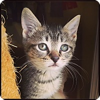Domestic Shorthair Kitten for adoption in Huntsville, Alabama - Indy