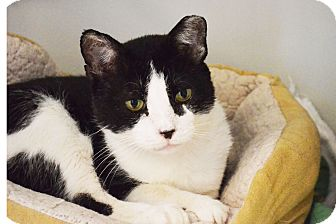 Domestic Shorthair Cat for adoption in Lincoln, Nebraska - Theo