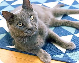 Russian Blue Cat for adoption in Chicago, Illinois - Franz