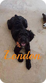 Cockapoo Mix Dog for adoption in Maitland, Florida - London