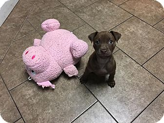 American Staffordshire Terrier/Labrador Retriever Mix Puppy for adoption in Rochester Hills, Michigan - Nestle