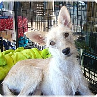 Terrier (Unknown Type, Small) Mix Dog for adoption in Las Vegas, Nevada - Tess