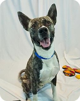 Akita Mix Dog for adoption in New Orleans, Louisiana - Levi