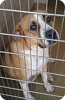 Boxer Mix Dog for adoption in Montgomery, Pennsylvania - Claire Bear