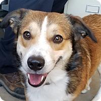 Corgi/Sheltie, Shetland Sheepdog Mix Dog for adoption in Sterling, Colorado - Jamison