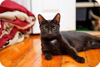 American Shorthair Cat for adoption in Somerville, Massachusetts - Momma Bear