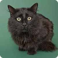Domestic Longhair Cat for adoption in Wilmington, Delaware - Bob