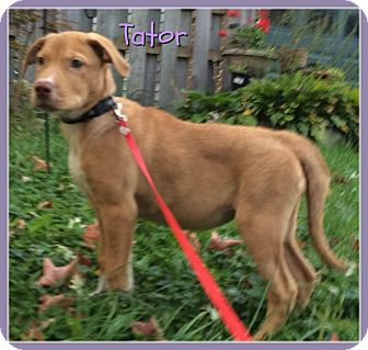 Terrier (Unknown Type, Small)/Labrador Retriever Mix Puppy for adoption in Elburn, Illinois - Tator