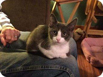 Domestic Mediumhair Kitten for adoption in Wilmore, Kentucky - Barnie