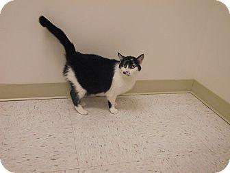 Domestic Shorthair Cat for adoption in Chambersburg, Pennsylvania - Emily