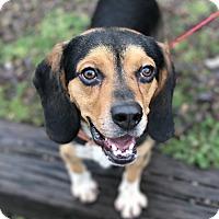 Adopt A Pet :: Disco - Newburgh, IN