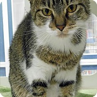 Adopt A Pet :: Tiger - Topeka, KS