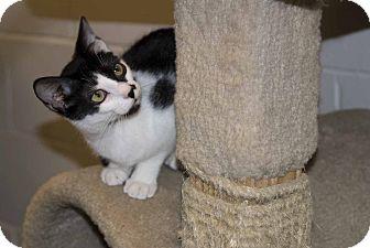 Domestic Shorthair Cat for adoption in New Port Richey, Florida - Fernando