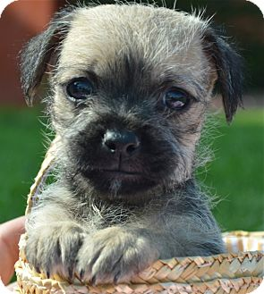 Border Terrier/Brussels Griffon Mix Puppy for adoption in Los Angeles, California - Otis