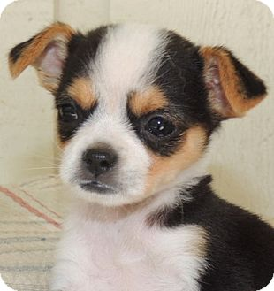 Chihuahua/Toy Fox Terrier Mix Puppy for adoption in La Habra Heights ...