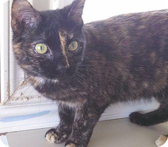Domestic Shorthair Cat for adoption in Fremont, Ohio - Cori