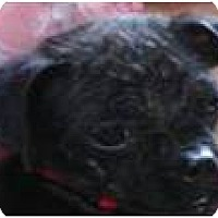 Adopt A Pet :: Ebony - Cleveland, OH