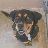 Rottweiler Mix Dog for adoption in Hilton Head, South Carolina - Milan