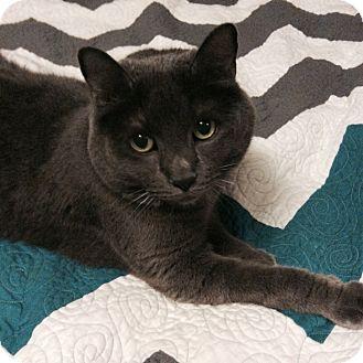 Domestic Shorthair Cat for adoption in St. Louis, Missouri - Gigi