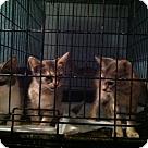 Adopt A Pet :: Gertie & 2 Kittens - Henderson, NC
