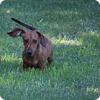 Adopt A Pet :: Copper - Arden, NC