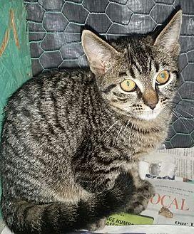 Domestic Shorthair Kitten for adoption in Ocala, Florida - Sunny *5 mo