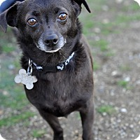 Adopt A Pet :: Shadow - Newhall, CA
