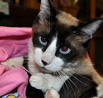 Siamese Cat for adoption in Alhambra, California - Zeus
