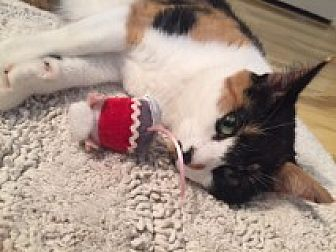Calico Cat for adoption in Bryn Mawr, Pennsylvania - Skittles/GREAT WITH CATS/Sassy