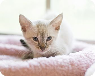 Domestic Shorthair Kitten for adoption in Houston, Texas - Kitten 5