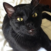 Domestic Shorthair Cat for adoption in Shakopee, Minnesota - Blackie C1296