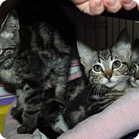 American Shorthair Kitten for adoption in Priest River, Idaho - Tabby kittens