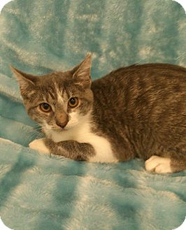 Domestic Shorthair Kitten for adoption in Highland Park, New Jersey - Magaruza